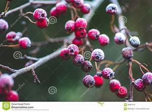 Baum Mit Roten Beeren : weihnachtszeit und ein raureif auf winterbaum mit roten beeren stockfoto bild von frost ~ Markanthonyermac.com Haus und Dekorationen