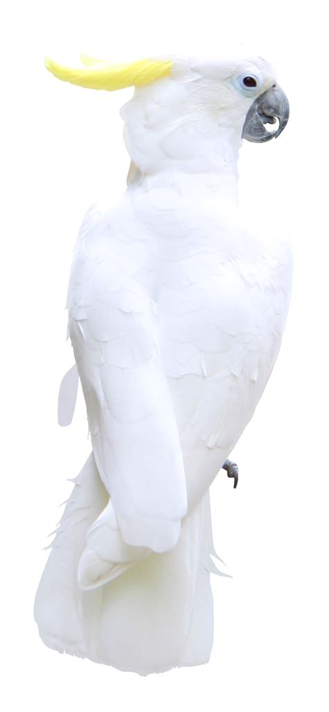white parrot transparent png clipart picture gallery