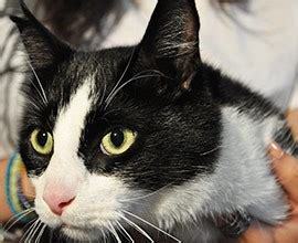 toxoplasmosis in cats feline toxoplasmosis a contagious parasite