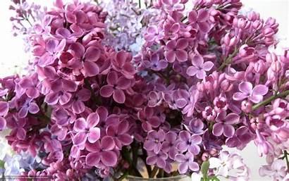 Lilac Flowers Desktop Backgrounds Blumen Wallpapers Petals