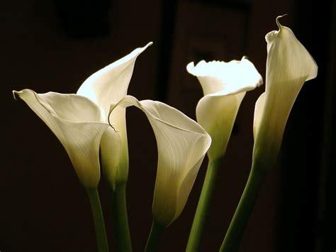 picture of calla calla flower