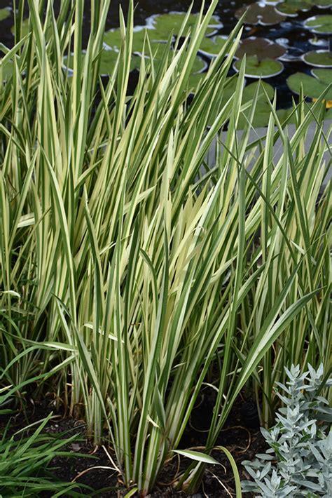 variegated sweet flag acorus calamus variegatus