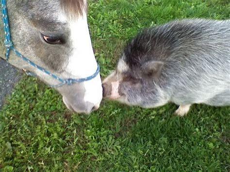 pig horse goat twin animals