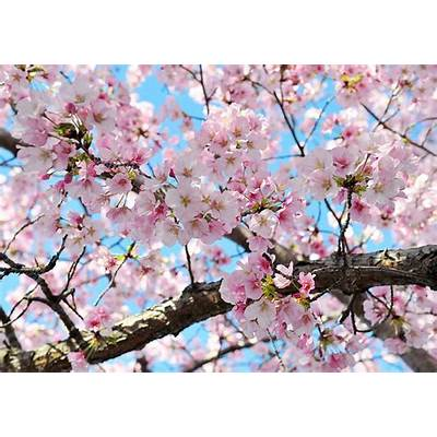Blossoms reach peak just in time for National Cherry