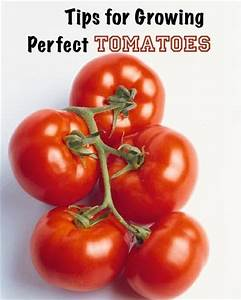 Gardening tips for growing perfect tomatoes my for Tomato gardening tips