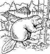 Beaver Coloring Pages Wood Animals Dam Printable Drawing Drawings Beavers Sheets Animal Bever Exotic Scouts Colouring Tree Carving Line Farm sketch template
