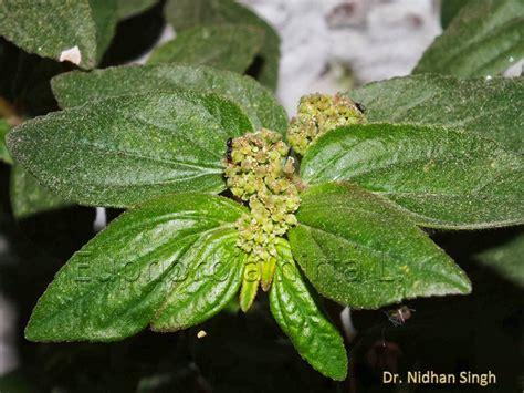 Medicinal Plants Euphorbia Hirta Ammam Paccharisi Dudhi