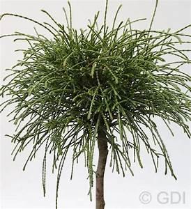 Sträucher Auf Stamm : faden lebensbaum whipcord thuja plicata whipcord ~ Michelbontemps.com Haus und Dekorationen