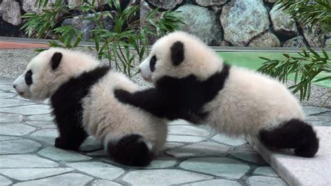 パンダ:赤ちゃん パンダ 桜浜 桃浜 panda ...