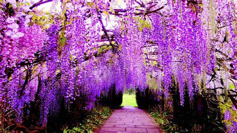 hanging flower wisteria purple flowers wallpaper  pc