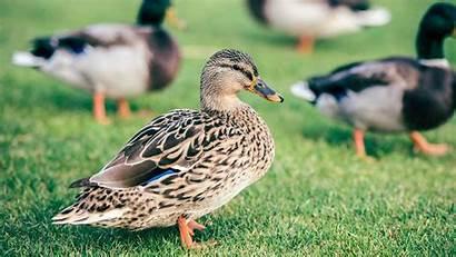 Duck Cute Bird Wallpapers Birds Walls Hdnicewallpapers
