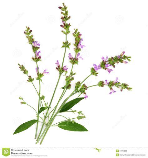 herb florist sage herb royalty free stock image image 34997506