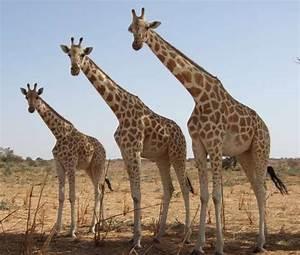 Définition   Girafe - Giraffa camelopardalis - Giraffa ...