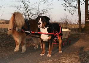 Zughundetraining « Gretes Sennenhunde Blog