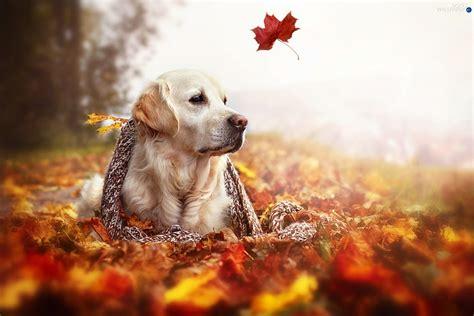 Autumn Animal Wallpaper - autumn leaf golden retriever shawl dogs