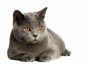 British Cat Stock Image - Image: 34805751