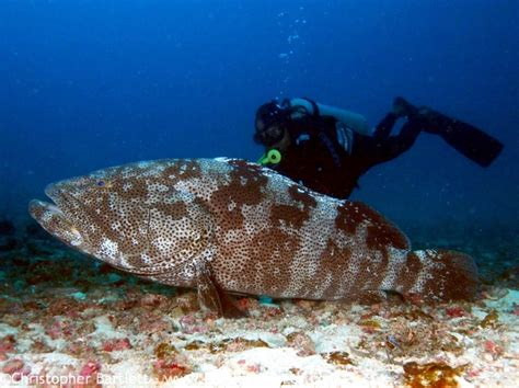 grouper giant goliath groupers pacific spearfishing ocean wrasse ban thumbnails