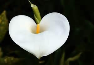anemone flowers free photo flower arum heart plant white free image