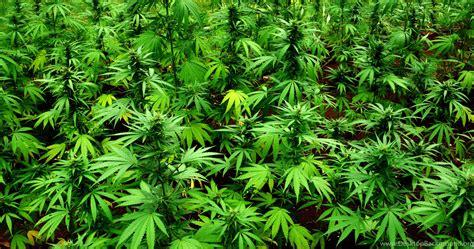 Marijuana Backgrounds Marijuana 420 Drugs Wallpapers Desktop