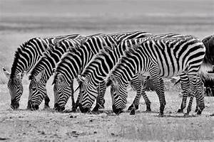 zebras black and white photography by tim allen 25