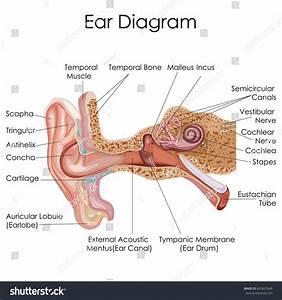Medical Education Chart Biology Human Ear Stock Vector ...