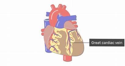Cardiac Veins Coronary Into Blood Drain Vein