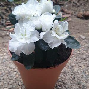 entretien azalee en pot azal 233 e arbuste en pot plantes et jardin de ville