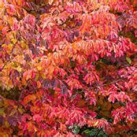 parrotia persica trees  sale uk persian ironwood tree
