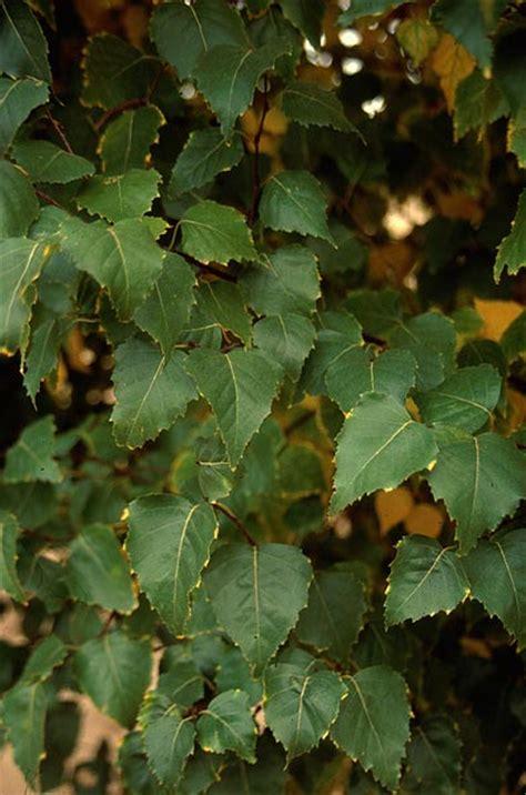 dakota pinnacle birch wyoming plant company