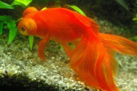 les poissons du 180 l forum poisson