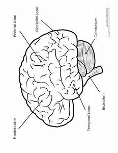 Brain Diagram - Labeled - Bw