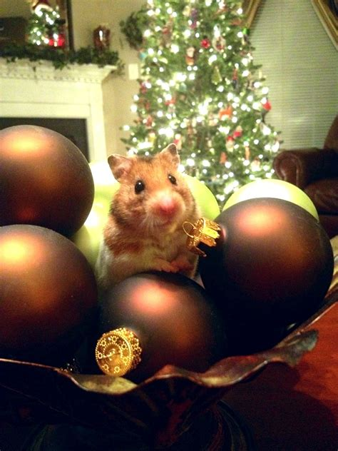 can i help put up the christmas decorations hamsters
