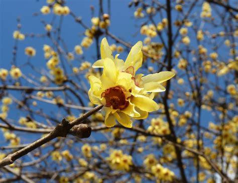 fiore calicanto calicanto il fiore dell inverno garden4us