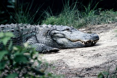 stock photo  alligator animal animal photography