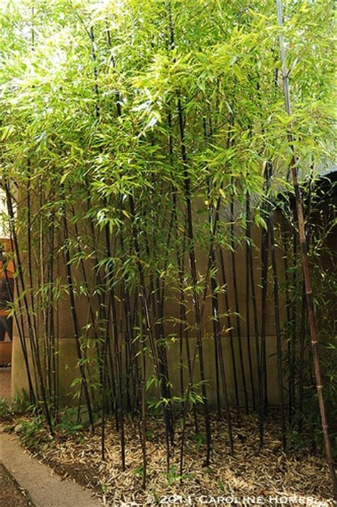 landscape bamboo plants black bamboo tropical landscapes pinterest