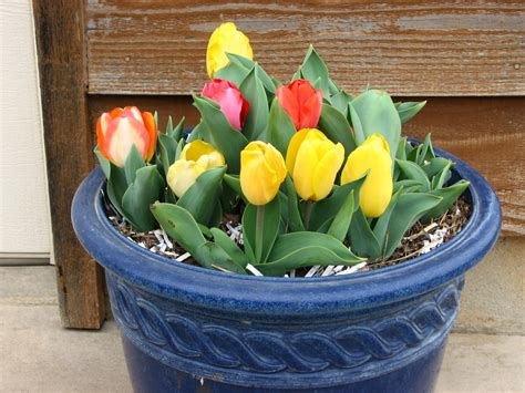 dig this planting tulips in containers