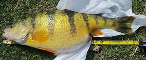 State Record Yellow Perch Caught Off Fairport Harbor