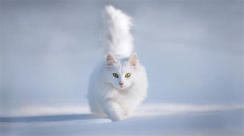 snow cats white cat in snow wallpaper high quality
