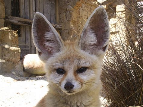 Fennec Fox Ears Flickr P O Sharing