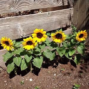 Love these dwarf sunflowers along the garden bin. They ...