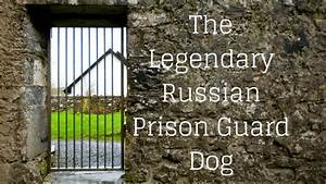 Caucasian Mountain Dog Used In Russian Prison - Dog Breed
