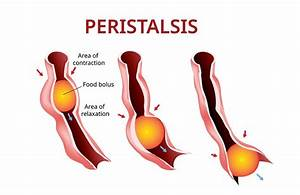 What Is Peristalsis   U2013 Embellezate