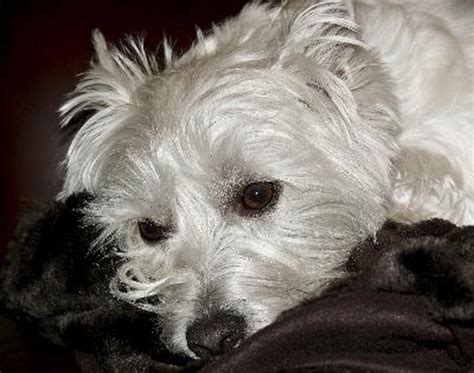 difference   wheaten scottish terrier