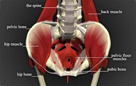 5 a look at pelvic floor muscles pfd dames of arizona