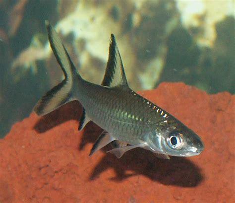 bala shark dalephilby s freshwater fish photo id 15801 full version ratemyfishtank com
