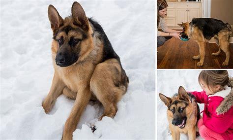 german shepherd quasimodo  received offers