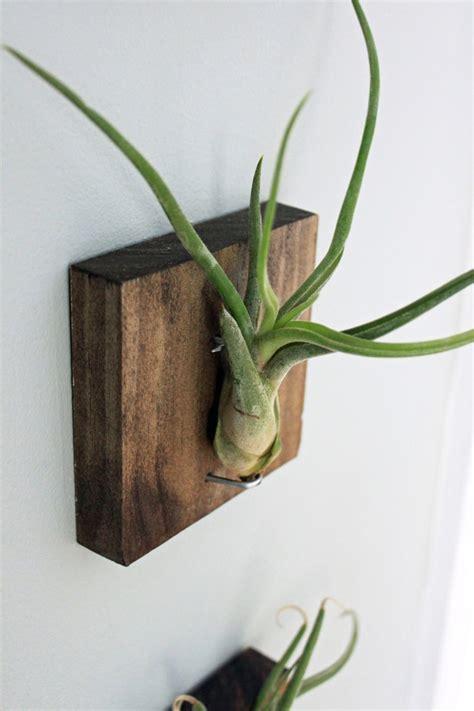 mounting air plants mounted air plants medusa s head living art uniqe wall decor
