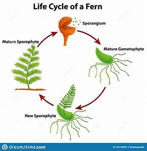 Diagram Showing Life Cycle Of Fern Stock Vector