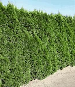 Lebensbaum Hecke Schneiden : lebensbaum hecke smaragd 40 60cm hoch 1a pflanzen baldur garten ~ Eleganceandgraceweddings.com Haus und Dekorationen