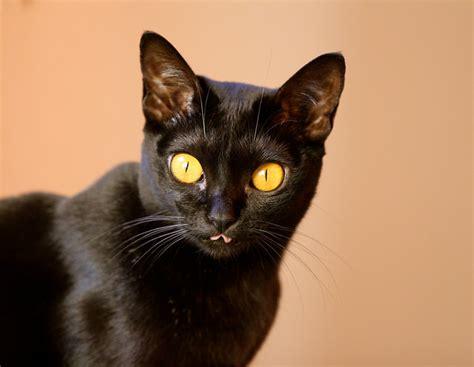 7 Cat Breeds That Look Like Wild Animals